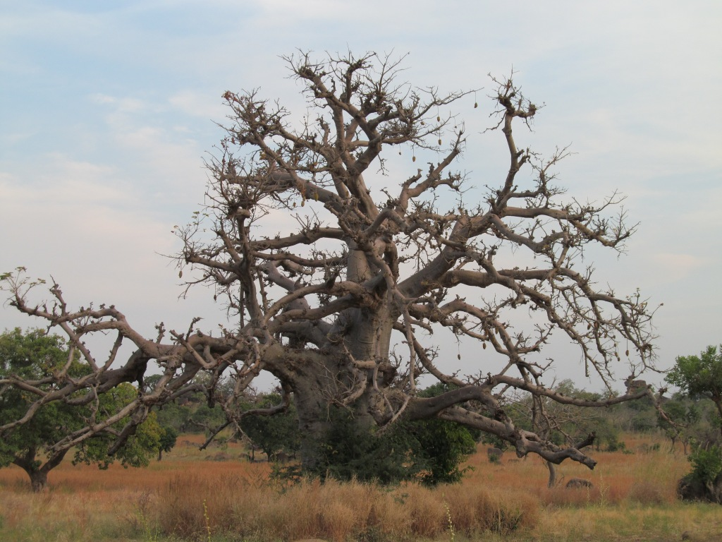 Magnificent baobab tree, Bongo