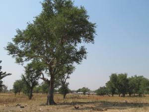Zaaga trees in Namori